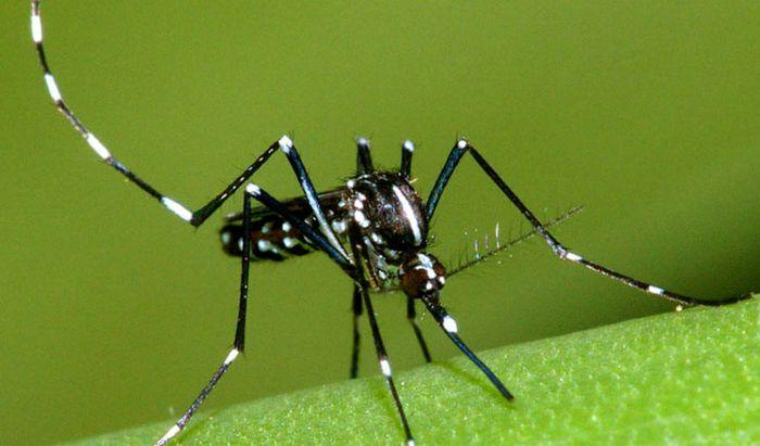 Un esemplare di zanzara tigre
